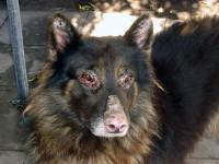 dermatologia--canina-5